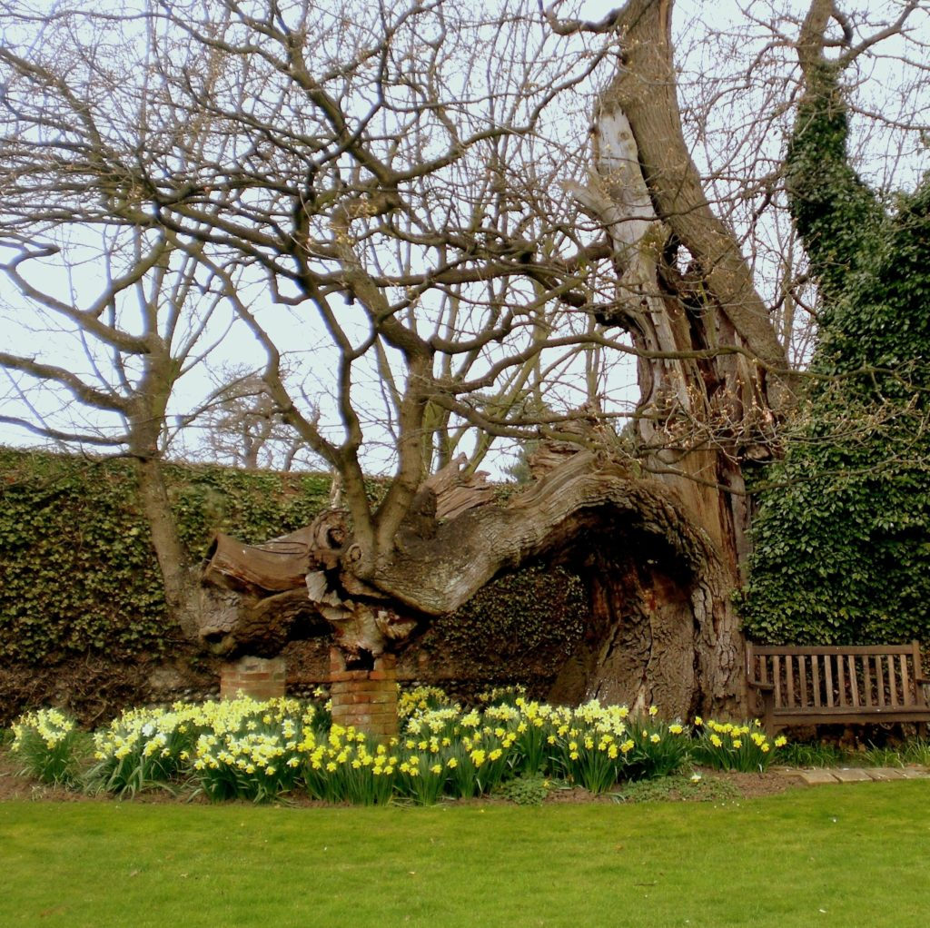 1,000 year old oak tree at Suffolk country estate