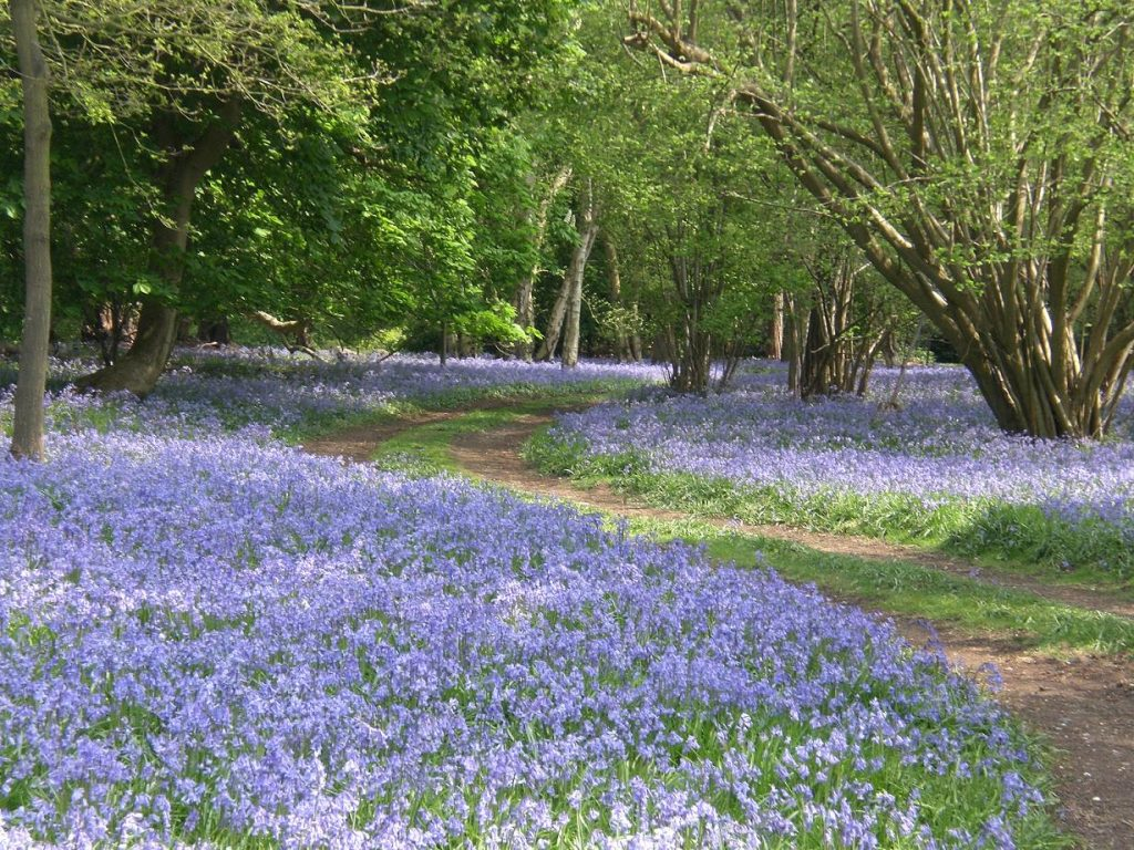 VIDEO: Don't miss our 'Virtual' Bluebell Sundays
